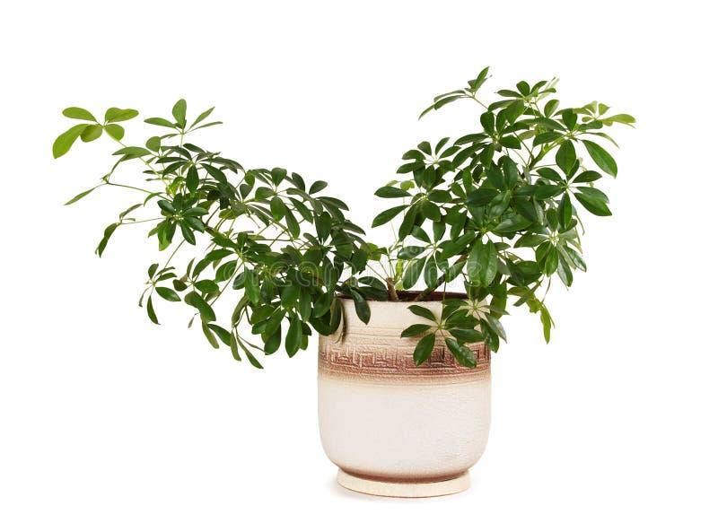 Arboricola do schefflera do Houseplant no flowerpot imagem de stock