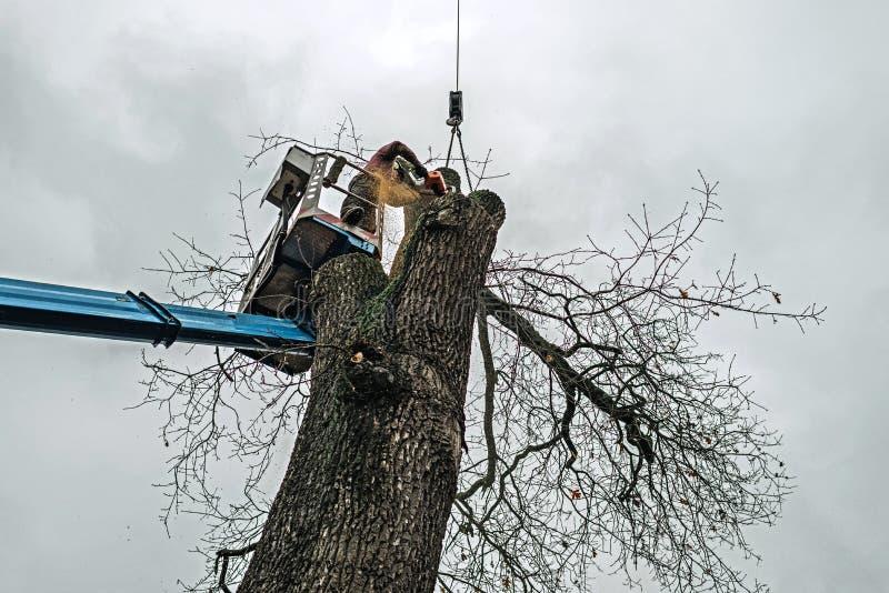 Arborist в платформе режа старый дуб с цепной пилой стоковая фотография