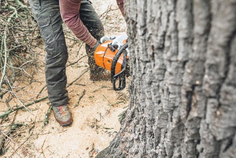 Arborist with chainsaw cutting large tree trunk of old oak. stock images