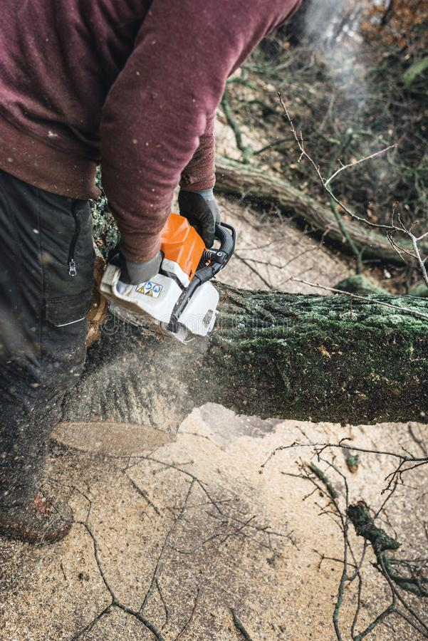 Arborist chainsawing pieces of wood of cut down old oak. royalty free stock images