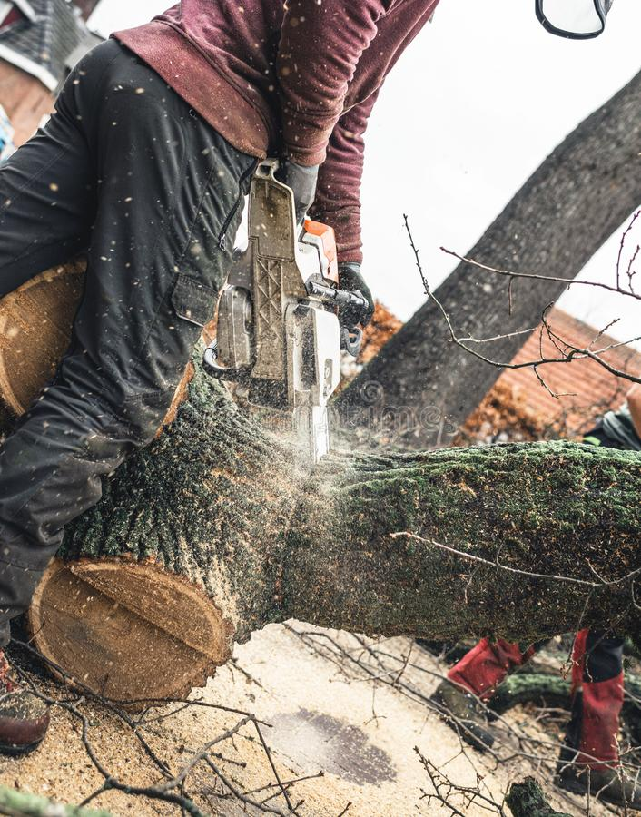 Arborist chainsawing pieces of wood of cut down old oak. royalty free stock image