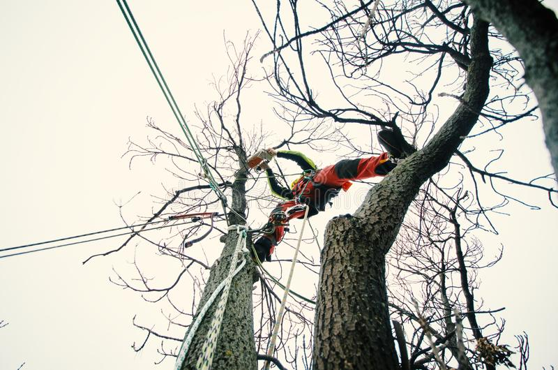 Arborist man cutting a branches with chainsaw and throw on a ground. The worker with helmet working at height on the trees. Lumber royalty free stock images