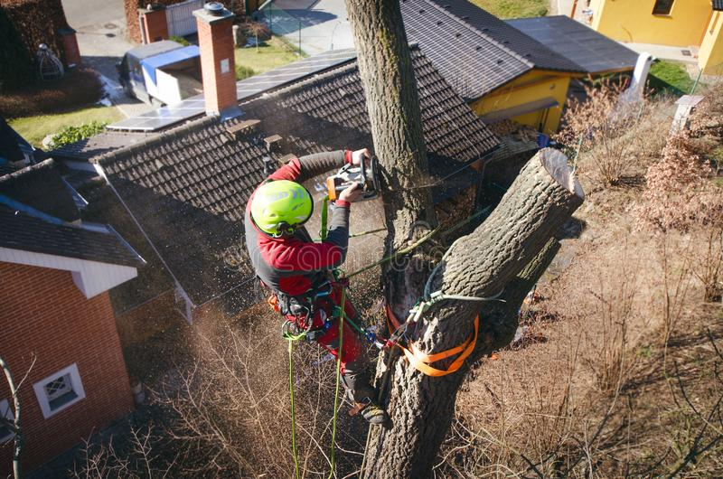Arborist man cutting a branches with chainsaw and throw on a ground. The worker with helmet working at height on the trees. Lumber royalty free stock image