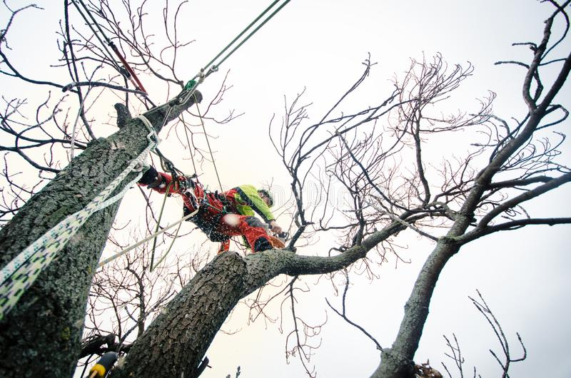 Arborist man cutting a branches with chainsaw and throw on a ground. The worker with helmet working at height on the trees. Lumber stock photo