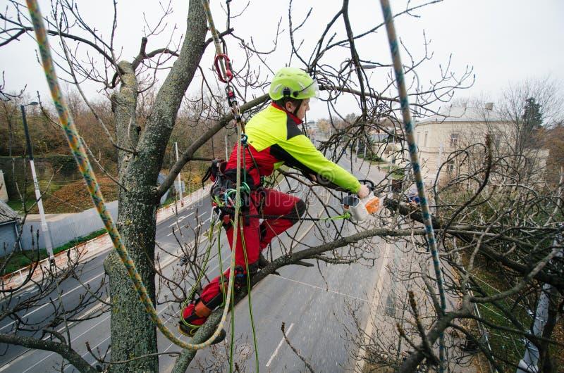 Arborist mens snijden takken met kettingzaag en werpt op een grond De arbeider met helm die bij hoogte aan de bomen werken timmer stock foto's