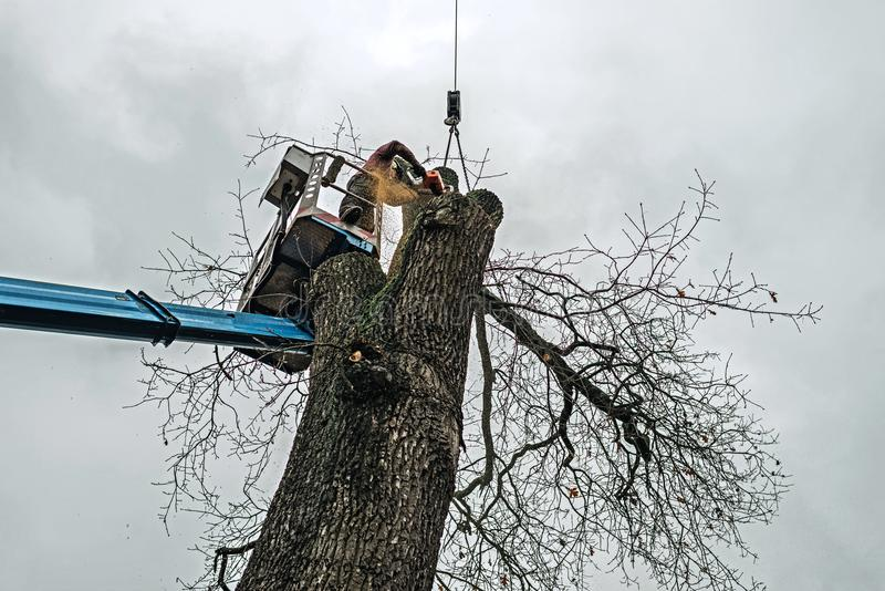 Arborist in platform cutting old oak with chainsaw. stock photography