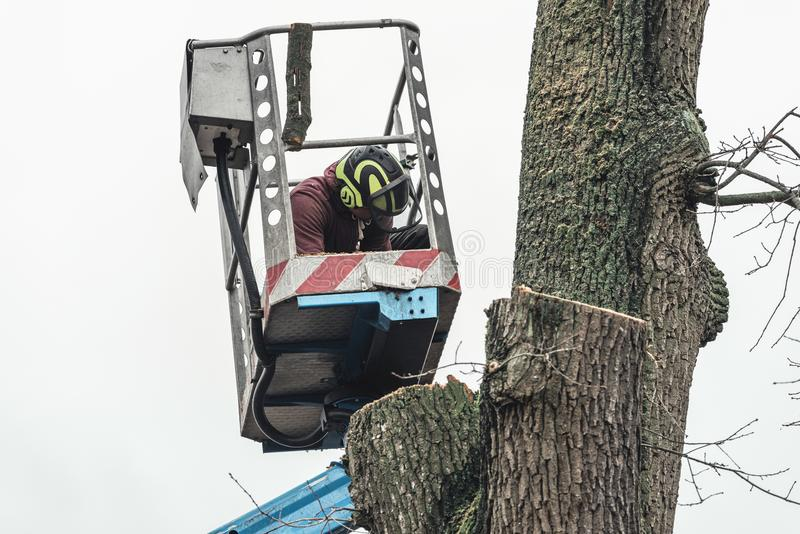 Arborist in safety helmet on platform inspecting chopped tree. stock images