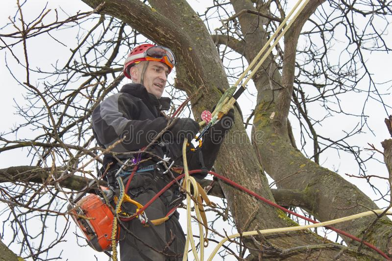 Arborist sawing wood chainsaw at the height. An arborist using a chainsaw to cut a walnut tree, Work at height royalty free stock photography