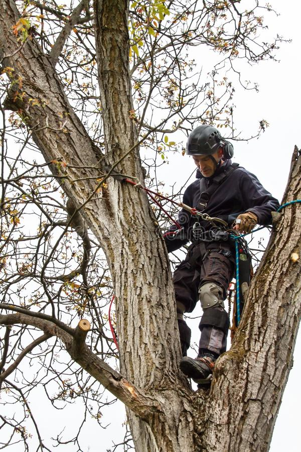 Arborist using a chainsaw to cut a walnut tree. Lumberjack with saw and harness pruning a tree. Arborist using a chainsaw to cut a walnut tree. Lumberjack with royalty free stock photo