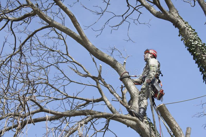 An arborist using a chainsaw to cut a walnut tree. Tree pruning royalty free stock image