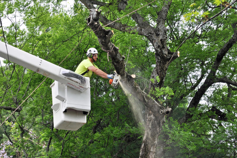 Arborista profesional Working en árbol grande foto de archivo