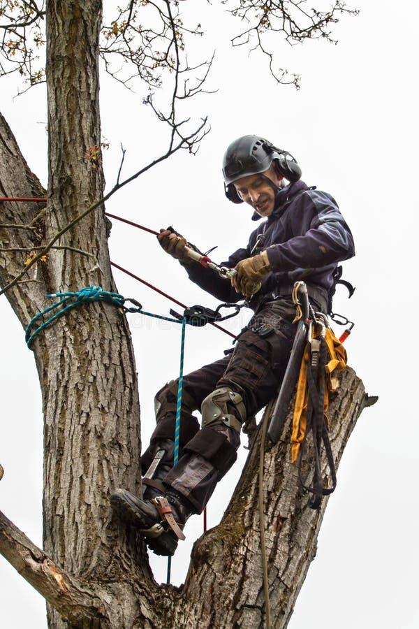 Arboriste à l'aide d'une tronçonneuse pour couper un noyer Le bûcheron avec a vu et élagage de harnais un arbre photo stock