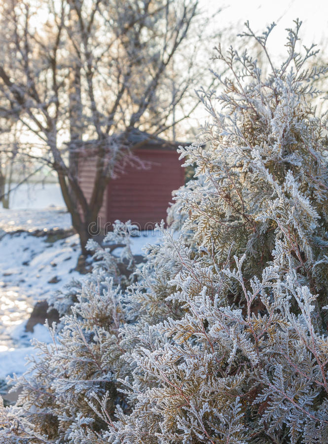 Arborvitae branches covered with hoarfrost against the background of the tea house in the park. Thuja branches covered with frost in the Japanese public garden stock images