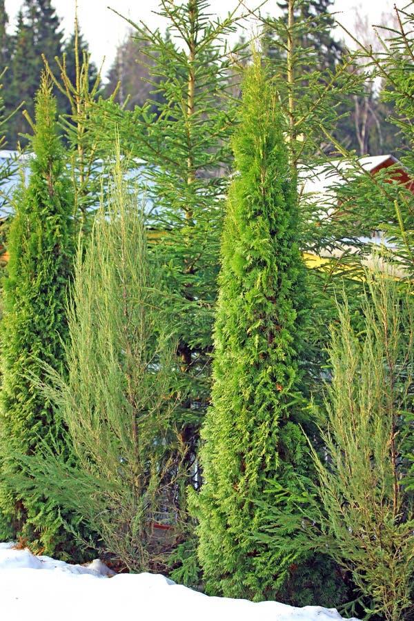 Arborvitae en cipresbomen in de winter stock foto's