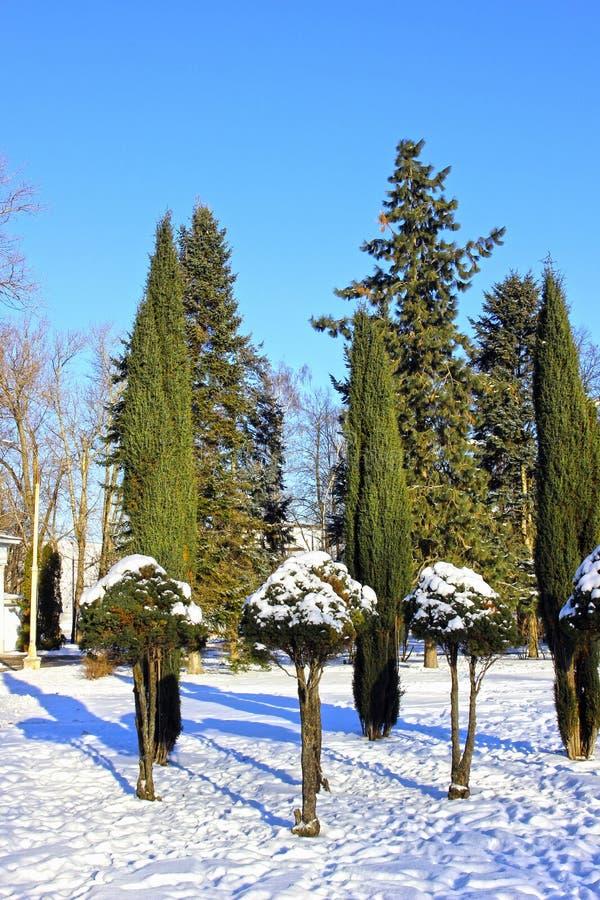 Arborvitae en cipresbomen in de winter royalty-vrije stock afbeeldingen