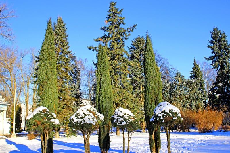 Arborvitae en cipresbomen in de winter stock fotografie