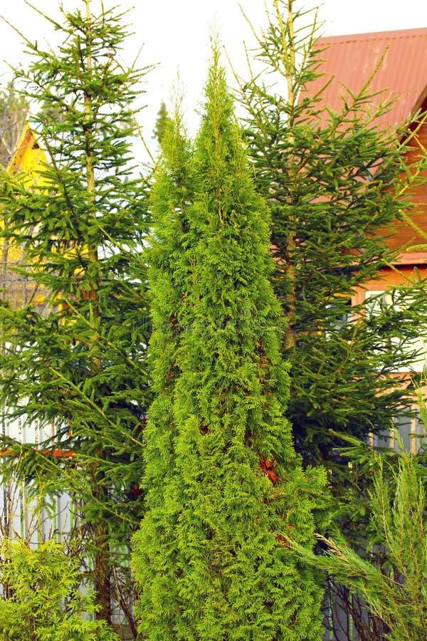 Arborvitae en nette bomen royalty-vrije stock afbeelding