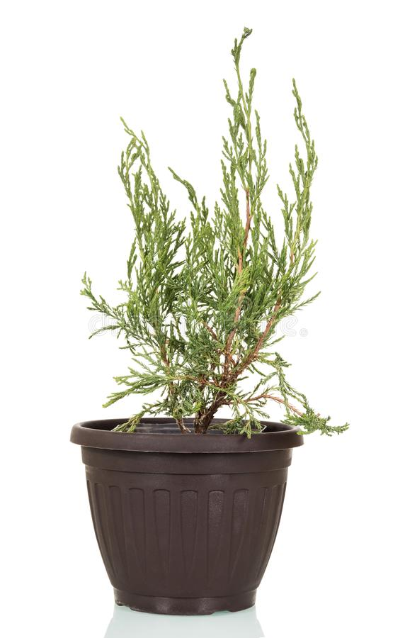 Arborvitae, evergreen plant of family Cupressaceae in pot isolated on white. Background royalty free stock photo