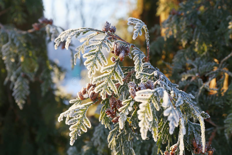 Arborvitae leaves in frost. Coniferous (Thuja) branches and cones covered with hoarfrost. Close up stock photos