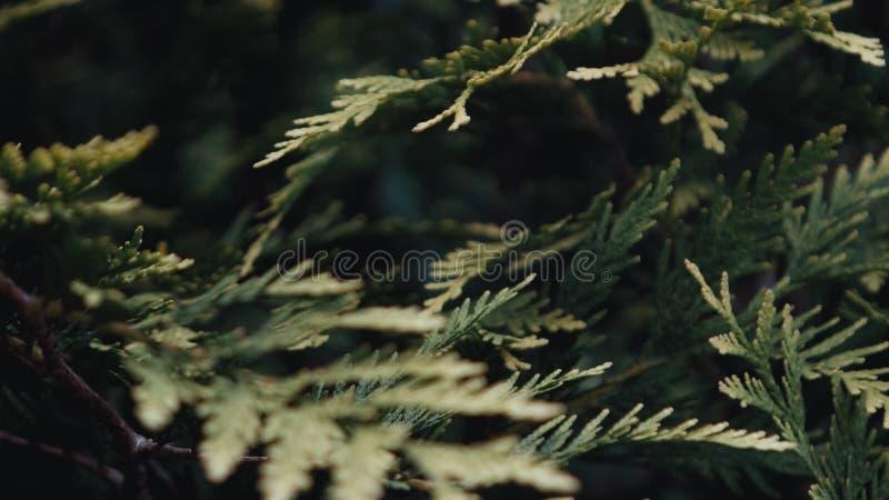 Arborvitae que cresce em um jardim botânico video estoque