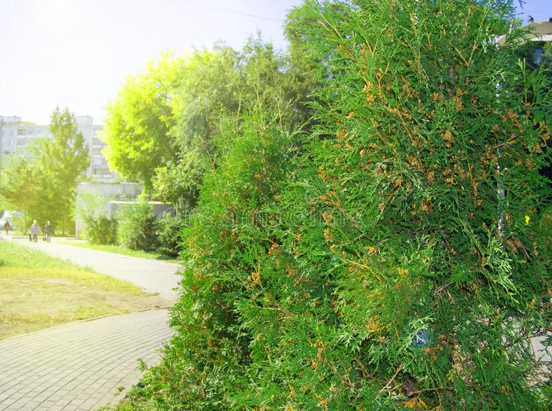 Arborvitae tree grows in the city Park along the path, on a Sunny summer day. Track, background, abstract, pattern, texture, nature, sunlight, glare, spring stock photo