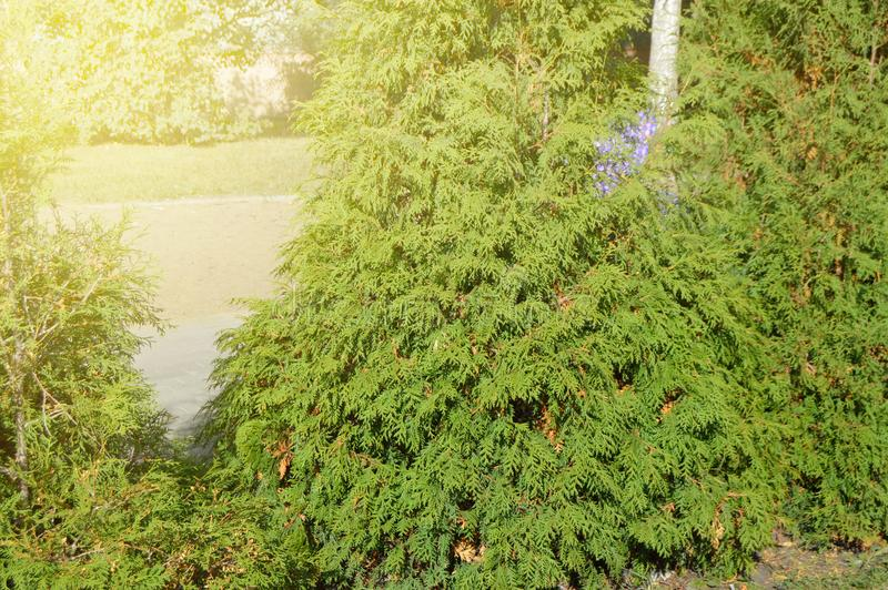 Arborvitae tree grows in the city Park along the path, on a Sunny summer day. Track, background, abstract, pattern, texture, nature, sunlight, glare, spring stock photos