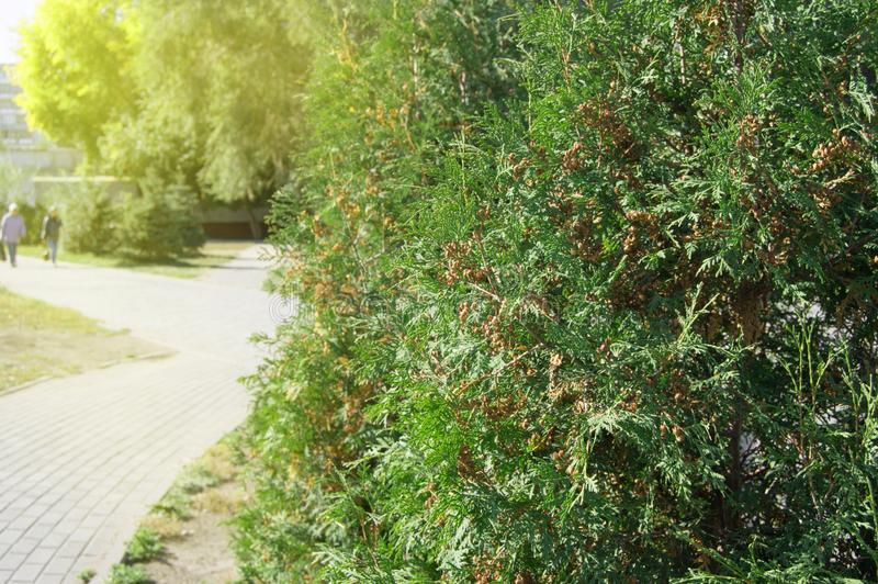 Arborvitae tree grows in the city Park along the path, on a Sunny summer day. Track, background, abstract, pattern, texture, nature, sunlight, glare, spring royalty free stock image