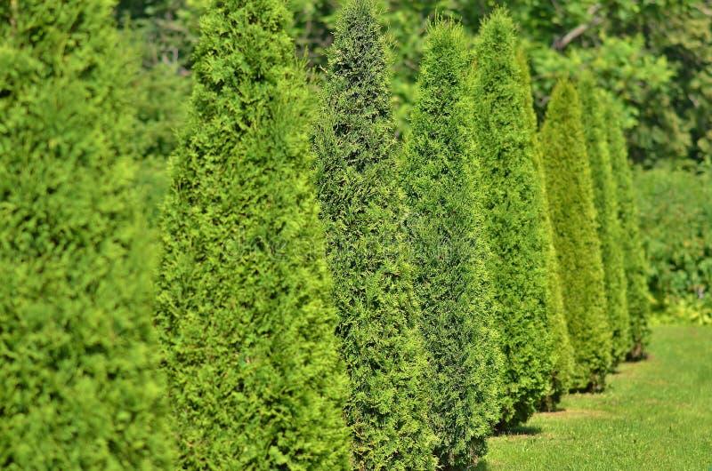 Arborvitae vert planté dans une rangée et équilibré photo libre de droits