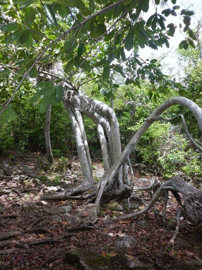 Arbre à Belize image stock