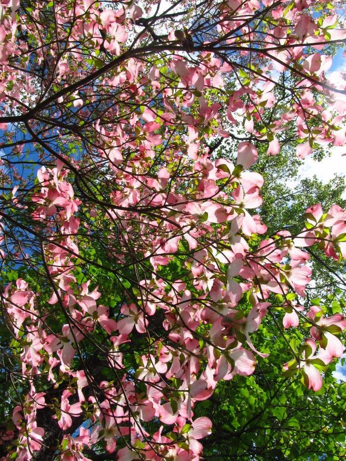 Arbre à bois rose en fleurs3 photographie stock libre de droits