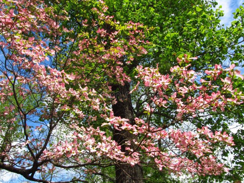 Arbre à bois rose en fleurs2 images libres de droits
