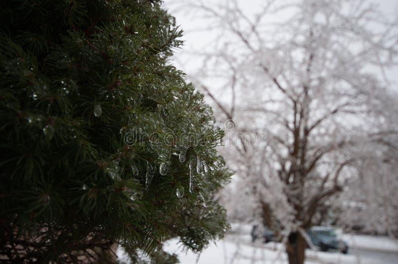 Arbre à feuilles persistantes congelé après tempête de pluie verglaçante image libre de droits