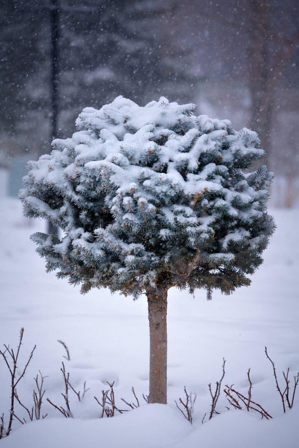 Arbre à feuilles persistantes sculpté par miniature dans la scène neigeuse photos libres de droits