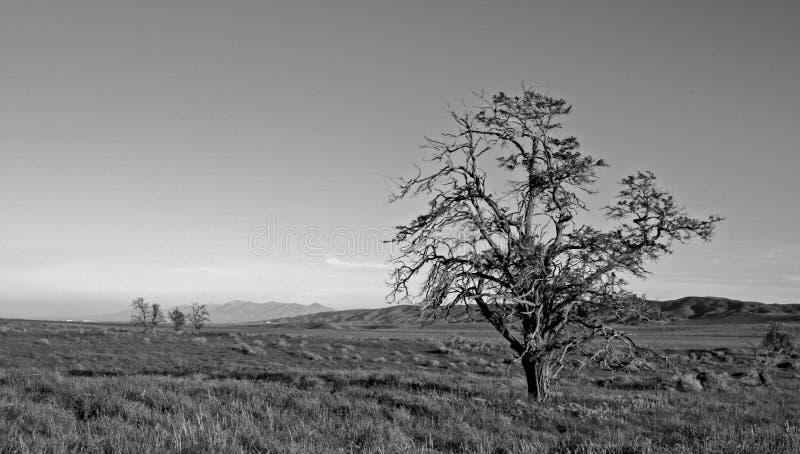 Arbre ébouriffé par le vent solitaire dans la vallée d'antilope dans le haut désert de la Californie du sud Etats-Unis - noire et images stock