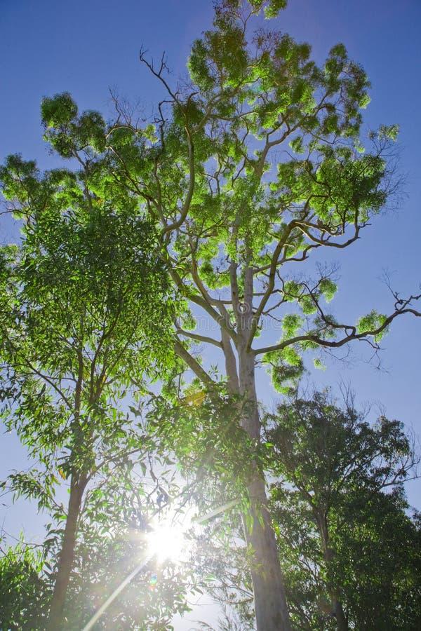 Arbre éclairé à contre-jour vibrant vert photographie stock libre de droits