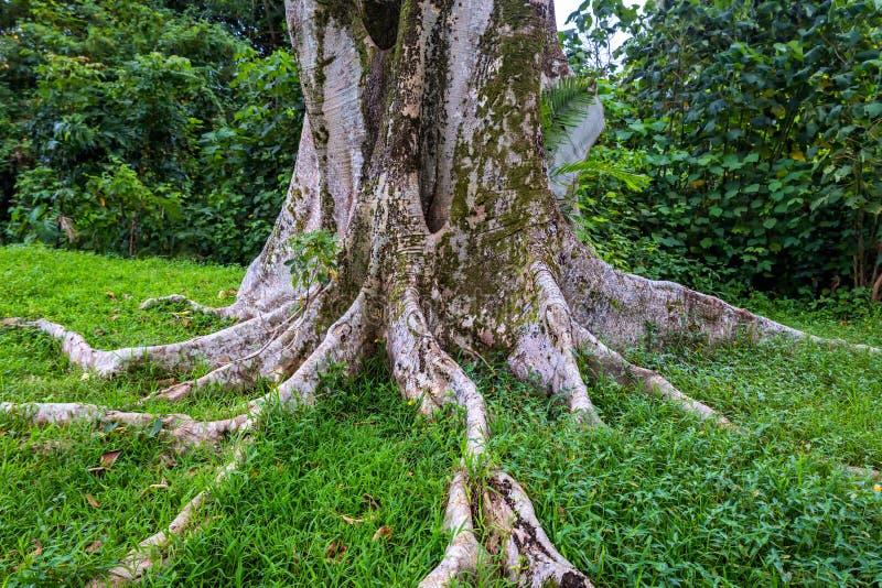 Arbre énorme avec de grandes racines puissantes dans la forêt tropicale d'Oahu photographie stock libre de droits