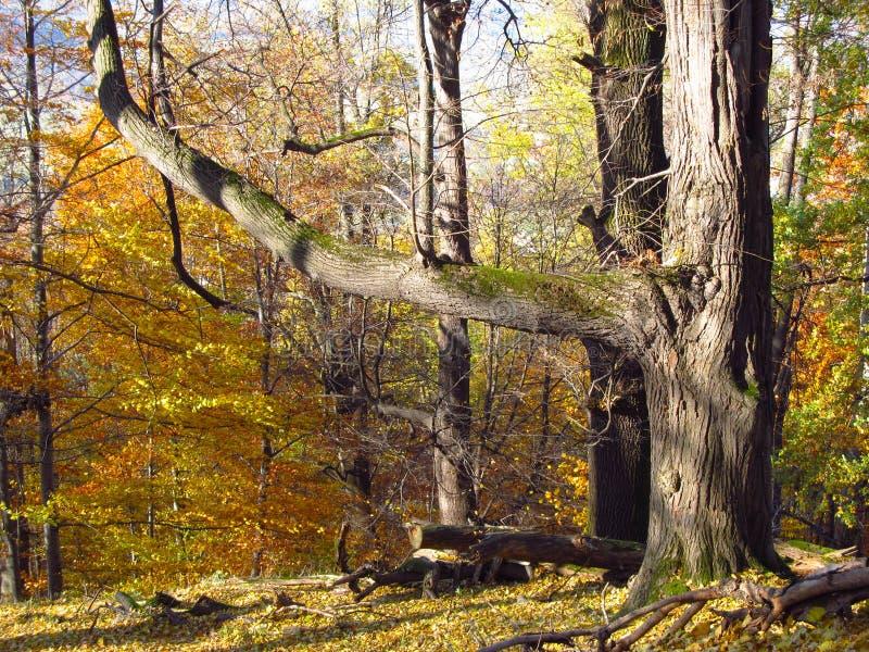 Arbre énorme dans la forêt d'automne photo libre de droits