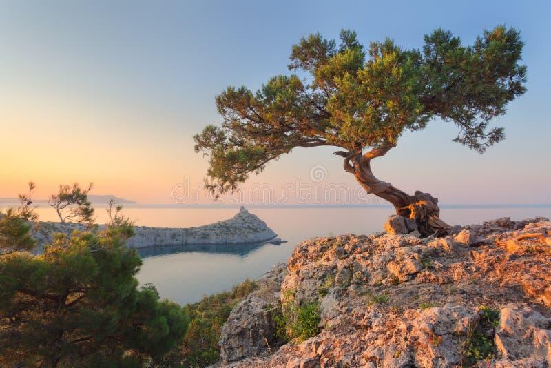 Arbre étonnant s'élevant hors de la roche au lever de soleil photos libres de droits