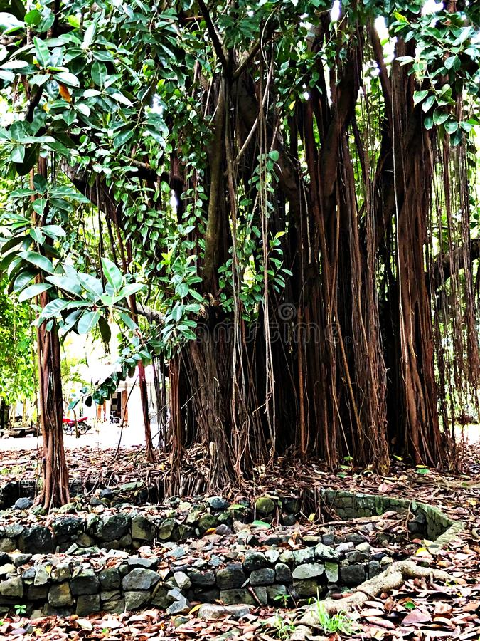 Arbre étrange dans un jardin botanique, Mauritius Island photographie stock