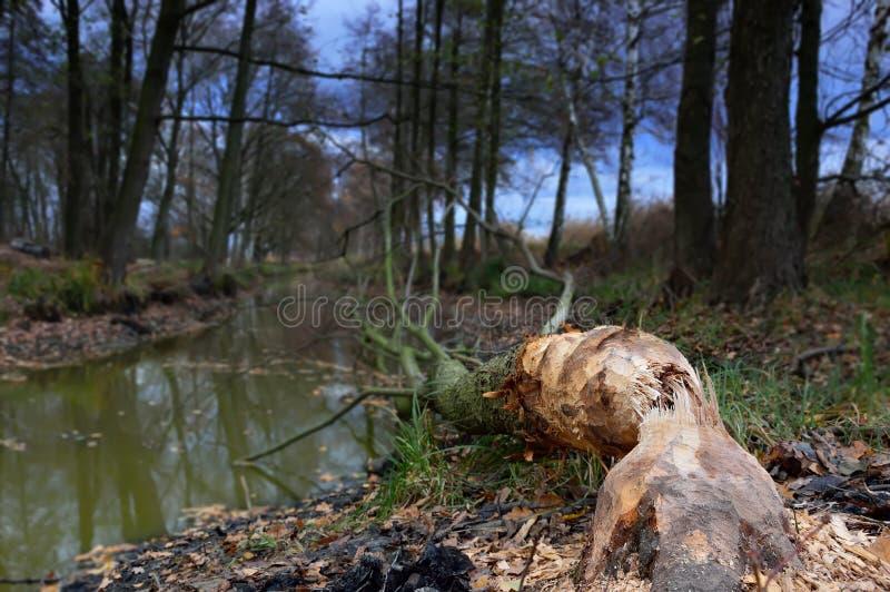 Arbre abattu par des castors sur la rivière photographie stock libre de droits