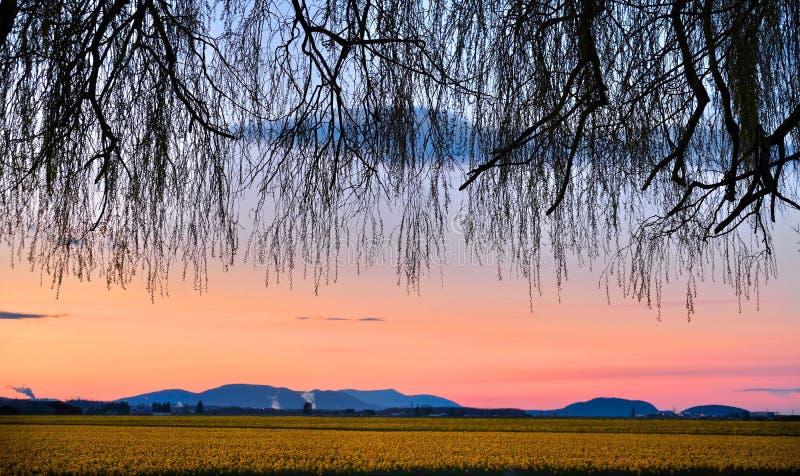 Arbre accrochant au-dessus des gisements de ressort au coucher du soleil photographie stock libre de droits