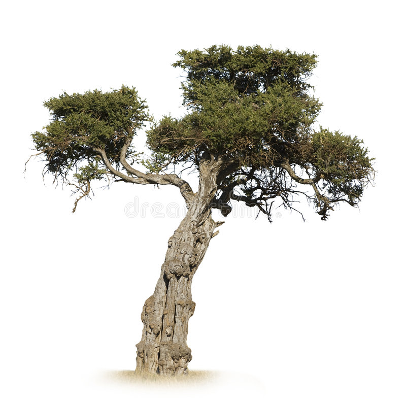Arbre africain photo stock