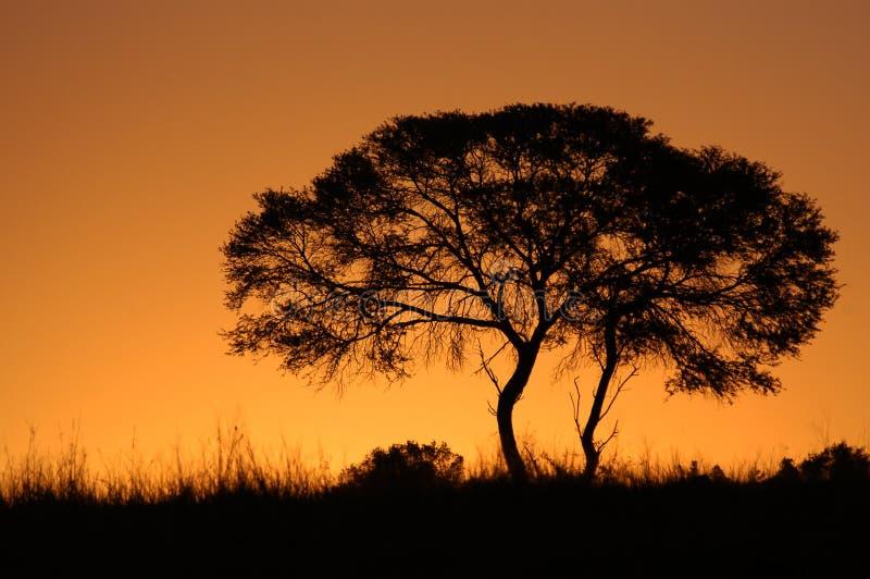 arbre africain de coucher du soleil de silhouette images stock