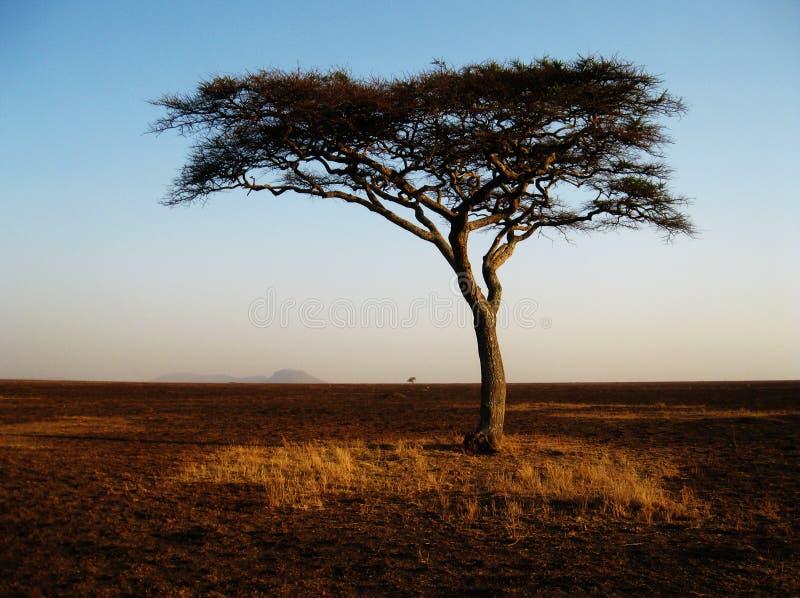 Arbre africain isolé dans le Serengeti,   image libre de droits