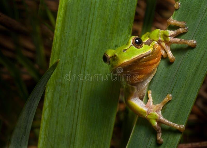 arbre animal amphibie d'instruction-macro de hyla de grenouille de l'Europe photos stock