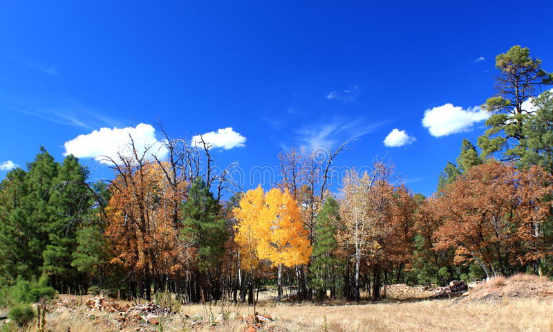 Arbre Arizona d'automne images libres de droits