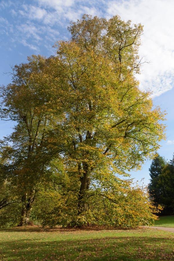 Arbre avec de belles couleurs d'automne au parc de Nowton image stock