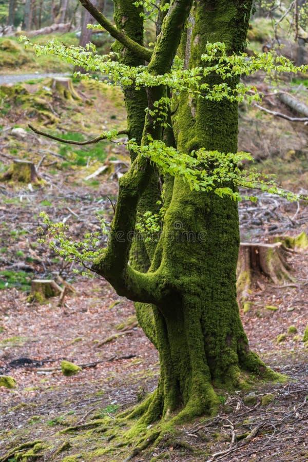 Arbre avec de la mousse sur des racines dans une forêt verte image libre de droits