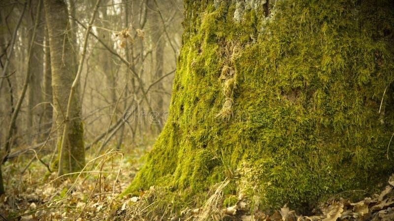 arbre avec de la mousse sur des racines dans une for?t verte ou la mousse sur le tronc d'arbre ?corce d'arbre avec de la mousse v photos stock