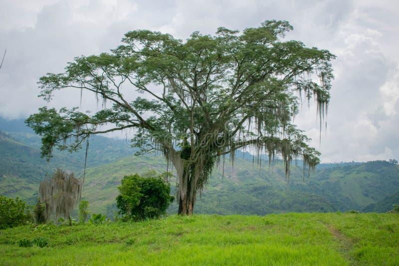 Arbre avec de la mousse sur Hillside dans la jungle colombienne photos stock